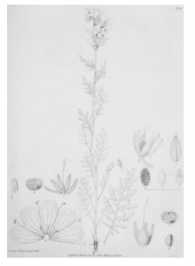 Plate delineating species of Arctic Flowers, some of which would feature upon the hem of Porden's wedding gown. From John Franklin, Narrative of a Journey to the Shores of the Polar Sea in the Years 1819, 20, 21 and 22 (London: John Murray, 1823).